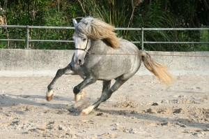 Har ni sett en andalusisk häst förut? Så här ser en pigg variant ut.